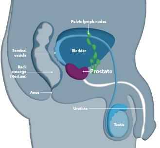 prostategland-figure1